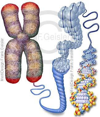 Chromosom mit DNA DNS Doppelhelix