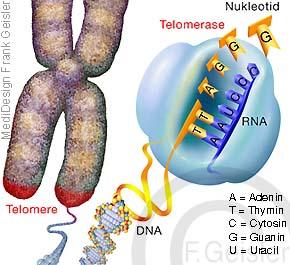 Chromosom mit DNA Doppelhelix, Telomer Telomerase nach Zellteilung