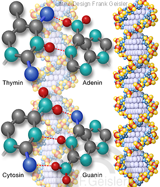 Genetik, DNA DNS Doppelhelix mit Thymin Adenin Cytosin Guanin