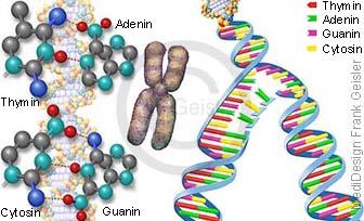Desoxyribonukleinsäure DNS, DNA-Basenpaare Adenin Thymin Guanin Cytosin und DNA-Reduplikation