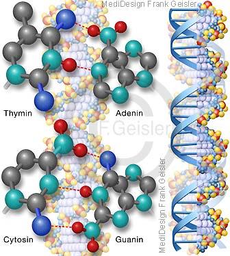 Doppelhelix mit DNA Basenpaare Thymin Adenin Cytosin Guanin