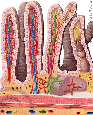 Anatomie Darm, Dünndarm mit Darmzotten und Epithelzellen