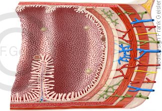 Anatomie Histologie Darm Intestinum, Darmschleimhaut mit Darmfalten Darmzotten im Dünndarm
