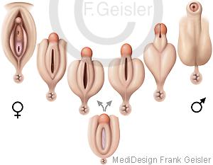 Entwicklung männliche weibliche Geschlechtsorgane des Menschen