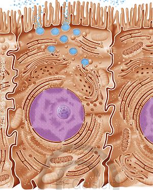 Physiologie Verdauung, Epithel Epithelzelle im Darm Dünndarm