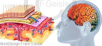Erkrankung der Hirnhaut, Hirnhautentzündung Meningitis durch FSME-Viren