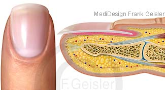 Anatomie Finger mit Nagel Fingernagel