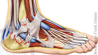 Anatomie Fuß, Fußgelenk mit Knochen Sehnen Muskeln