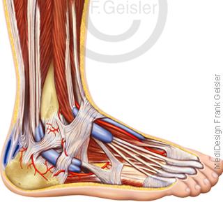 Fuß mit Fußgewölbe Muskeln Bänder Sehnen und Zehen