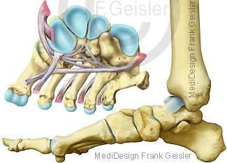 Anatomie Knochen Fuß Fußknochen Fußskelett mit Fußgewölbe