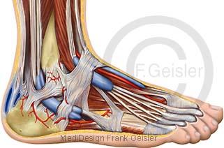 Anatomie Fuß mit Muskeln Fußmuskeln Sehnen Bänder und Gefäße, Regio retromalleolaris fibularis