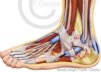 Anatomie Fuß mit Muskeln Sehnen Bänder und Zehen