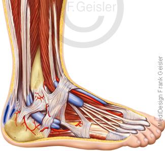Anatomie Fuß Pes mit Muskeln Sehnen Bänder und Zehen