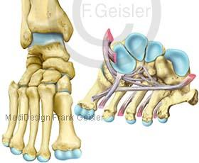 Anatomie Fußskelett Fuß, Knochen Sprunggelenk mit Quergewölbe Articulatio talocruralis und Bänder