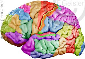 Gehirn mit Brodmann-Areale Großhirn