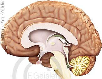 Anatomie Gehirn Hirn, Großhirn mit Hirnstamm und Kleinhirn des Menschen