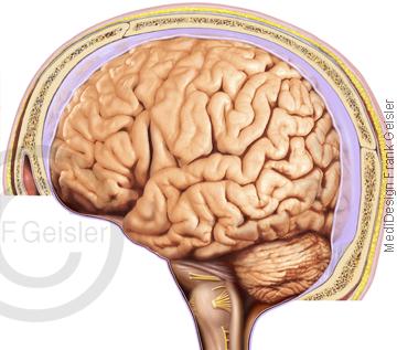 Anatomie Gehirn, Großhirn Kleinhirn Hirnstamm mit Hirnhaut