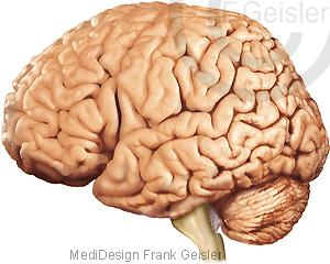 Anatomie Gehirn Hirn mit Großhirn Kleinhirn Hirnstamm des Menschen