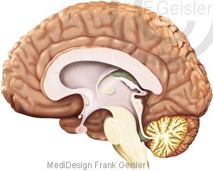 Anatomie Gehirn Hirn ZNS mit Stammhirn Hirnstamm Kleinhirn des Menschen