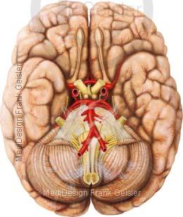 Anatomie Basalfläche Gehirn Hirn Cerebrum mit Narven Gefäße