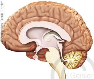 Gehirn mit Hypothalamus Hypophyse, Hormone produzierende Organe