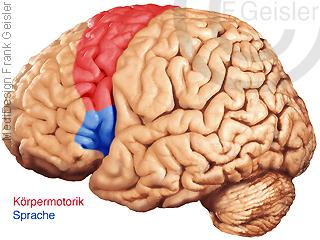 Physiologie Gehirn, Motorik Hirnoberfläche Körpermotorik und Sprache