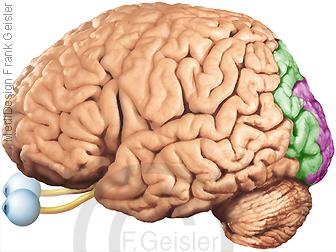 Gehirn mit Sehrinde Assoziationsfelder visueller Cortex