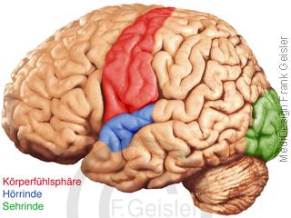 Physiologie Sensorik ZNS Gehirn, Hirnoberfläche Areale für Körpergefühl Hörrinde Sehrinde