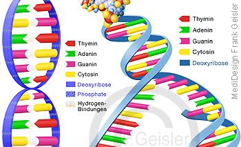 Gene Genetik, DNA DNS Struktur Desoxyribonukleinsäure