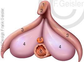 Geschlechtsorgan Klitoris Kitzler der Frau