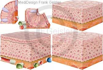Histologie Zellen und Gewebe, Epithelgewebe mit Epithelzellen