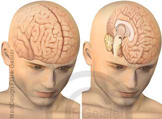 Organe Kopf, Großhirn Hirnstamm und Kleinhirn des Menschen
