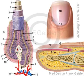 Haar Pili und Nagel Fingernagel der Haut