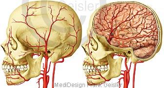 Anatomie Gefäße im Kopf des Menschen, Halsschlagader Arterien Gehirn