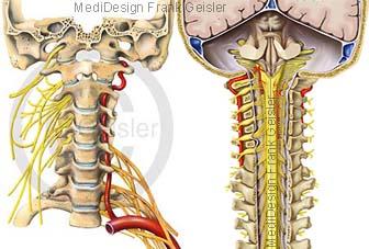 Rückenmark mit Nervenbahnen, Halswirbel mit Nerven Halsgeflecht des Menschen