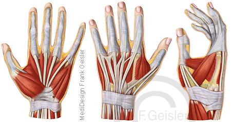 Arm, Oberarm, Unterarm und Hand