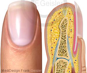 Finger Fingerkuppe Finger mit Nagel Fingernagel