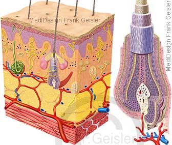Anatomie Histologie Haut Cutis und Haar Pili mit Nerven