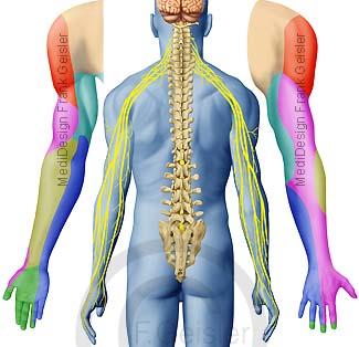 Anatomie Spinalnerven Hautfelder Dermatome der Haut am Arm
