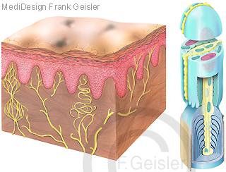 Haut mit Nerven, freie Nervenenden Nozizeptor