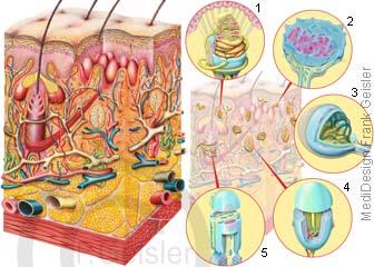 Hautanhangsgebilde der Haut, Sinnesorgan Haut mit Sinneszellen