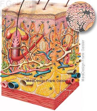 Histologie Hautschichten dunkele Haut mit viel Melanozyten