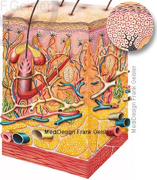 Histologie Hautsschichten Helle Haut mit wenig Melanozyten