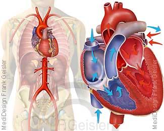 Herz mit Hauptschlagader Aorta, Blut Blutfluss im Herz