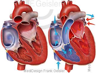 Herz, Blut Blutfluss postnatal