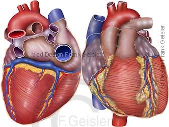 Anatomie Herz Cardia Kardia Cor, Herzoberfläche mit Gefäße Herzkranzgefäße