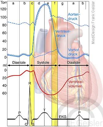 Herzfunktion EKG Messung Herz, Systole und Diastole