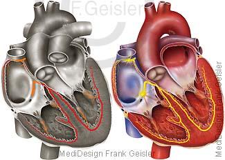 Herz Erregung Sinusknoten Erregungsleitung SA-Knoten AV-Knoten im Erregungsleitungssystem