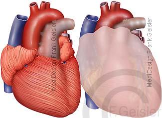 Herz Herzmuskel mit Herzbeutel Pericardium