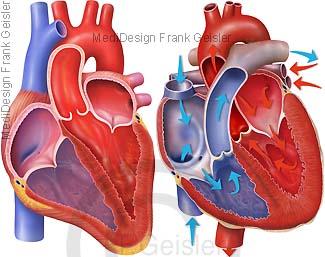 Anatomie Herz mit Herzklappen, Blut Blutfluss Ventrikel Herzkammern